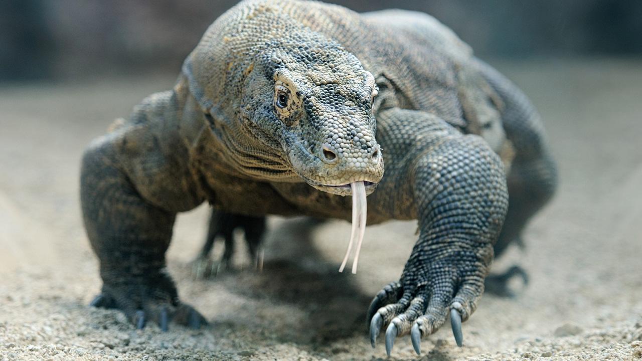 Banyak Hal Yang Perlu Anda Ketahui Sebelum Mengamati Komodo