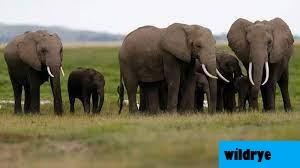 Algoritma Untuk Memantau Populasi Gajah