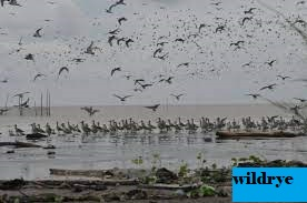 Pengamatan Burung Migran Di Pantai Cemara